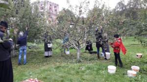 Сбор яблок на территории Донского монастыря