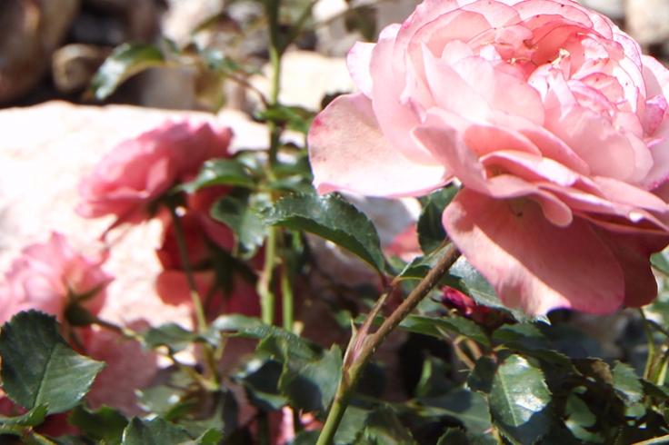 Тысячи роз высадят в«Лужниках» данной весной