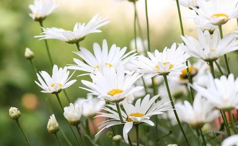 ромашки цветы пикс