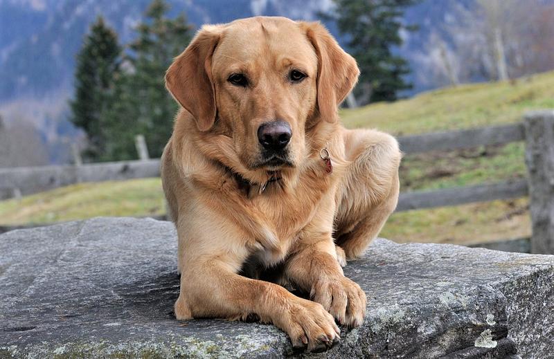 собака-домашнее-животное-питомцы-мос-ру